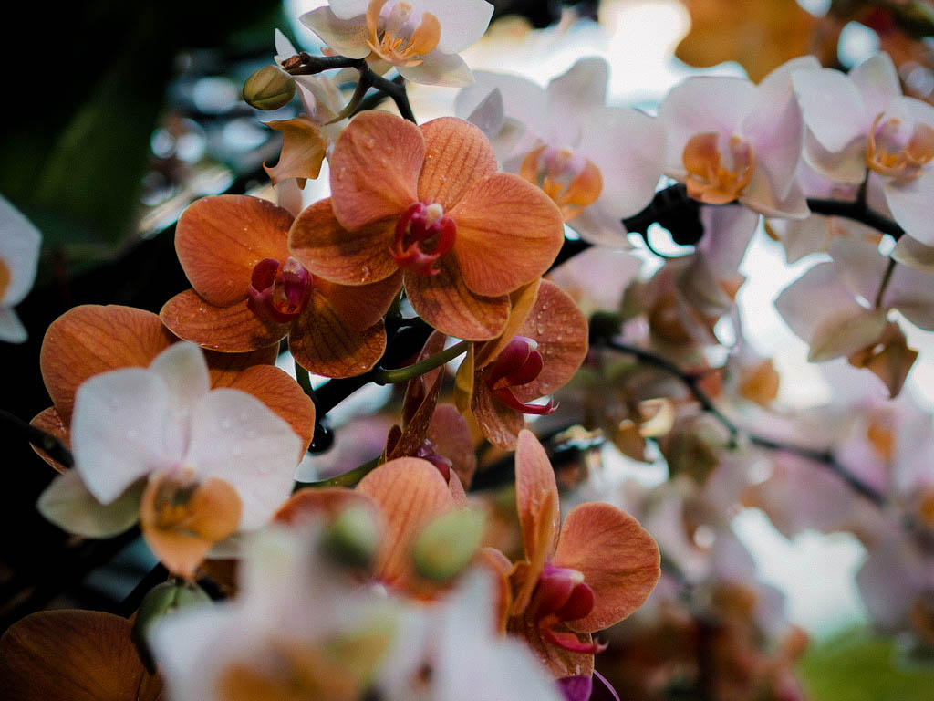 Kew Orchid Festival 2019